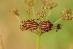 Close-up of mating bugs with red and black stripes. Royalty Free Stock Photo