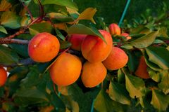 Close-up of mature apricots on a tree between green leaves Stock Photos