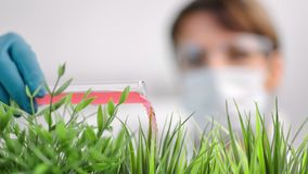 Close-up mature female scientist pouring reagent beaker researching growing selective grass plant. Woman biologist making experiment adding red liquid stock video footage