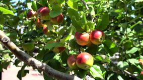 Close up of mature Hokkaido Apple stock video