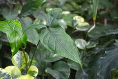 Close up of a mature exotic Syngonium Podophyllum Schott `Trileaf Wonder` with trisect leaves stock image