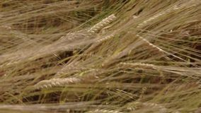 Close up, mature wheat field blowing in the wind stock video footage
