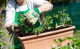Close up of mature woman hands potting geranium flowers royalty free stock photography