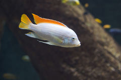 Close up on Maylandia hajomaylandi, Malawi Fish Stock Photos