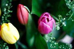 Close-up photo of tulip bouquet, colorful flowers, spring mood. Close-up mcro photo of tulip bouquet, colorful flowers, spring mood Royalty Free Stock Images