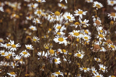 Close up of a meadow with camomiles, with vintage color filter Royalty Free Stock Photos