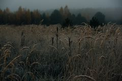 Close-up of meadow with grain crops on cold foggy morning. Close-up of meadow with grain crops on cold foggy  morning in autumn, vintage effect with grain Royalty Free Stock Photos