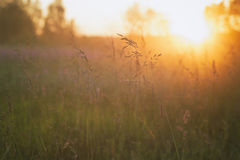 Close up meadow grass in evening sunlight Stock Photography
