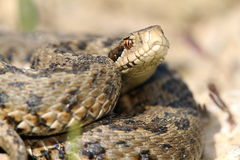 Close up of meadow viper Stock Photography