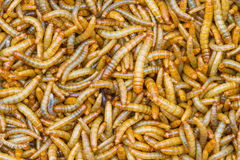 Close up  Meal worms Royalty Free Stock Photos