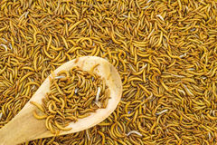 Close up mealworm feed for animals in wooden spoon  in the  mark Stock Photo