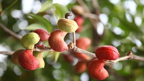 Close up medicado Ayurveda dos frutos do indiano filme