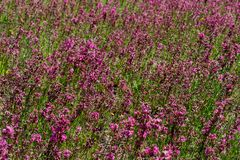 Close-up of the medicinal plant silene yunnanensis called champion with small beautiful purple flowers royalty free stock photos