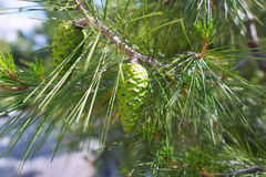 Close-up Mediterranean pine Royalty Free Stock Photography