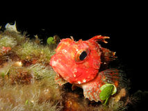 Close up of a mediterranean scorpion fish Scorpaena notata. Scorpion fish is resting on the sea rocks royalty free stock image