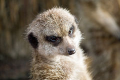 Close up Meercat Stock Image