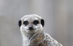 Close up of a Meerkat Stock Images
