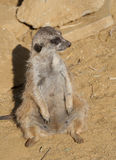 Close up of a Meerkat Royalty Free Stock Photos
