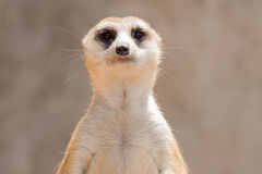 Close up meerkat head in the zoo Royalty Free Stock Photo