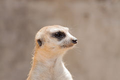 Close up meerkat head in the zoo Royalty Free Stock Image