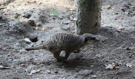 Meerkat or suricate, Suricata suricatta Stock Photography