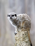 Close up of a Meerkat on a post Royalty Free Stock Photo