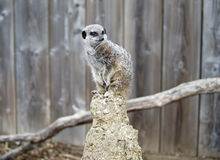 Close up of a Meerkat on a post Stock Images