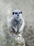Close up of a Meerkat on a post Royalty Free Stock Images