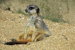 Close up of a meerkat sitting in the sand stock photos