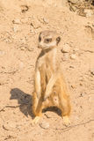 Close up of a meerkat. Standing up Stock Photos