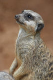 Close-up of the meerkat Royalty Free Stock Photography