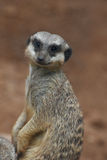 Close-up of the meerkat Stock Photography