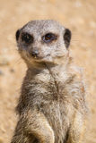 Close up of a Meerkat. Royalty Free Stock Images