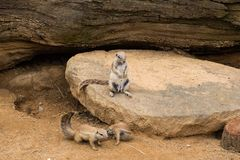 Close up of meerkats in the zoo stock image