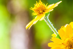 Close up of melampodium divaricatum, butter daisy or little yellow star, flower Royalty Free Stock Images