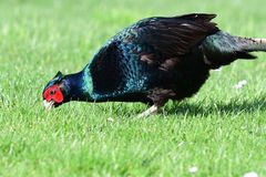 Melanistic pheasant. Close up of a melanistic pheasant foraging for food in the garden stock photo