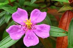 The close up of Melastoma Villosum Royalty Free Stock Photo