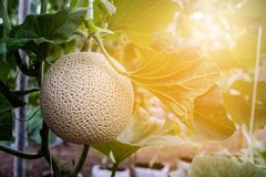 Close up of melon fruit in the organic farm. At the morning Stock Photos