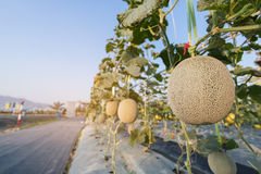 Close up melon growing ready for harvest in field plant. Close up melon growing ready for harvest in field plant agriculture farm Royalty Free Stock Photos
