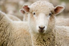 Close up of a Merino sheep. A curious sheep looking at the camera Stock Photography