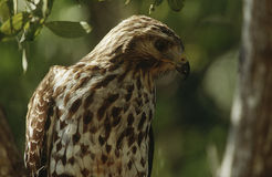 Close-up of Merlin (Falco columbarius) Royalty Free Stock Images