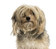 Close-up of a messy Yorkshire terrier, isolated Stock Photography