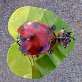 Metal Lacquered Ladybug Ornament in Nevada Cactus Nursery. Close up of metal lacquered garden ornament on display for sale at a little known cactus and rock royalty free stock photo