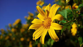 Close Up of Mexican Sunflower Stock Photo