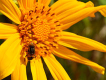 Close up Mexican sunflower Royalty Free Stock Images