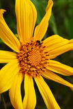 Close up Mexican sunflower Royalty Free Stock Photography