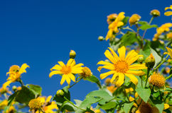 Close up of Mexican sunflower with blue sky Stock Photo