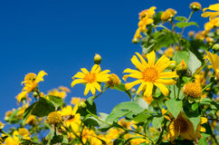 Close up of Mexican sunflower with blue sky Stock Images