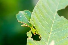 Female leaf insect Phyllium westwoodi Royalty Free Stock Image
