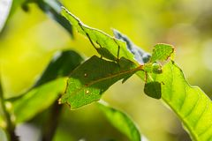Female leaf insect Phyllium westwoodi Stock Images